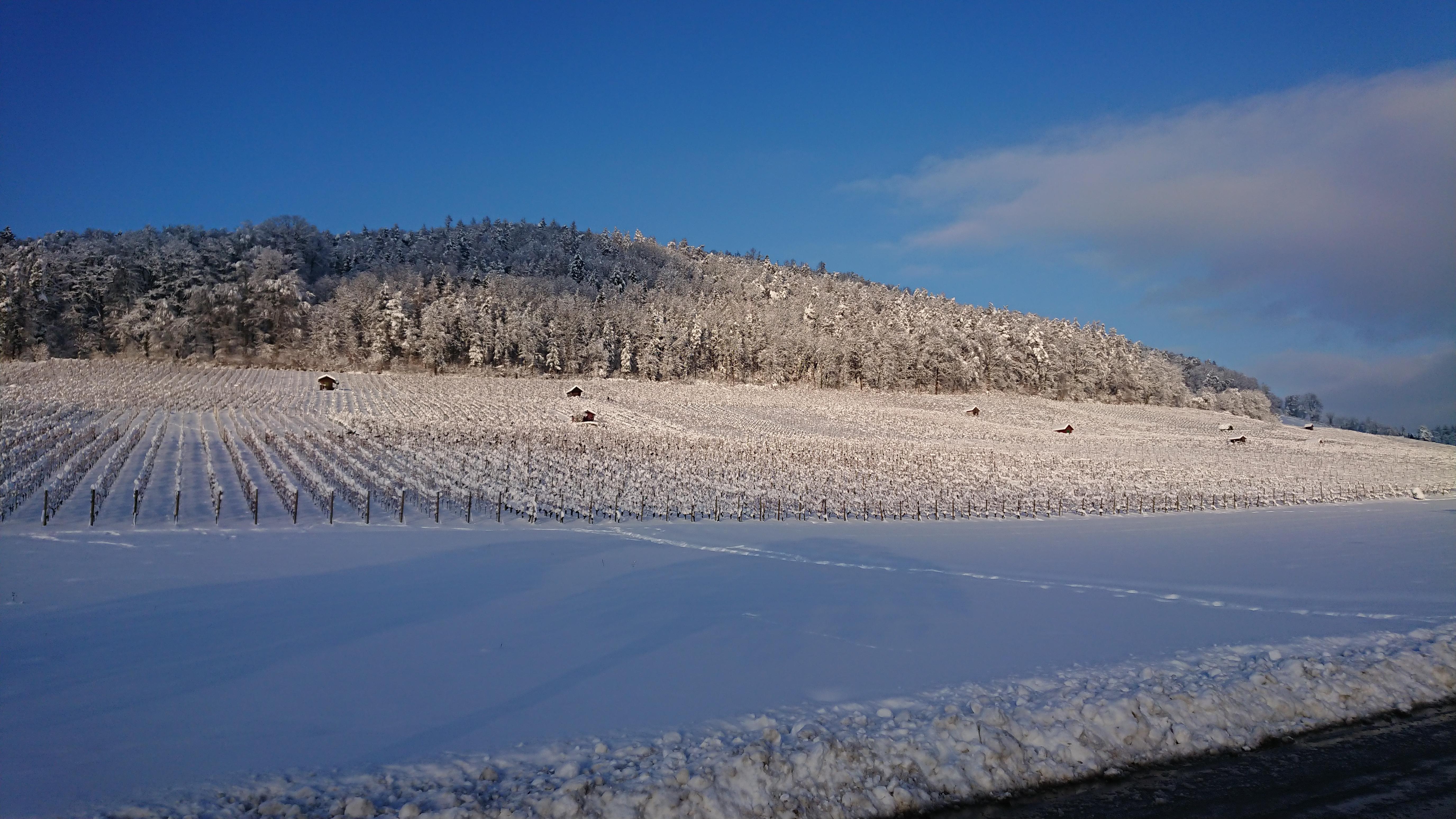 Reben mit Schnee